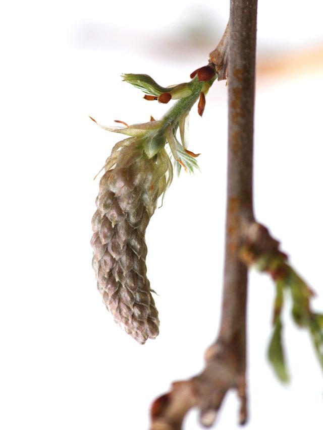 wysteria flower bud