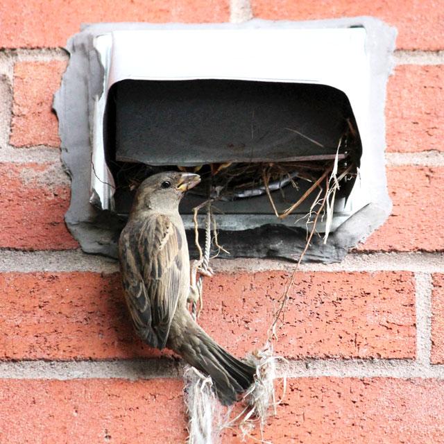 female-sparrow-feeding-babies