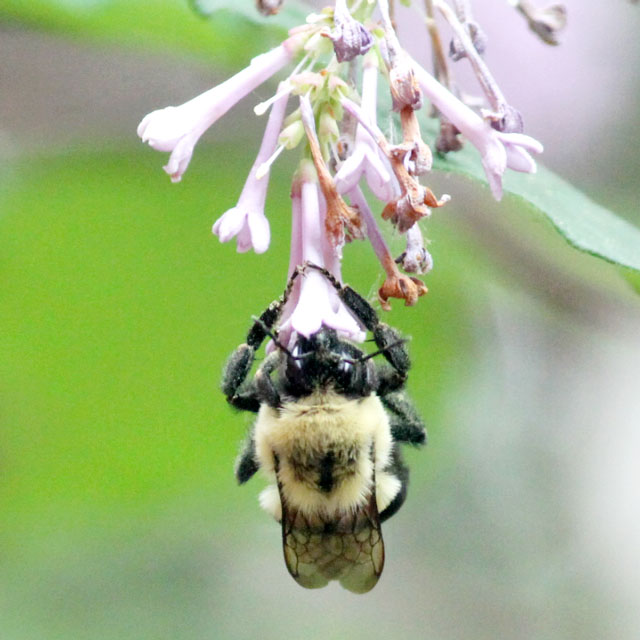 honey-bee-gathering-nectar-from-lilac