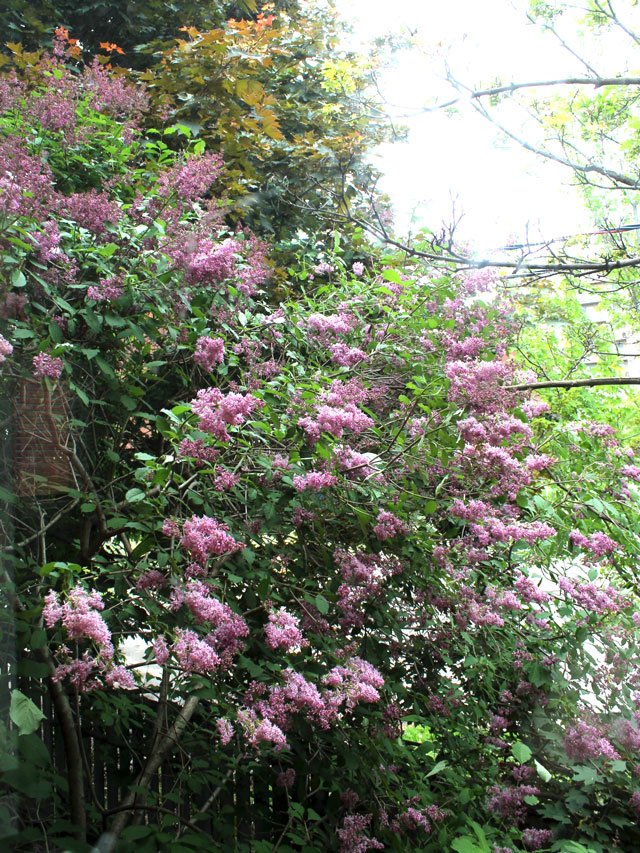 lilac tree thirty two years old