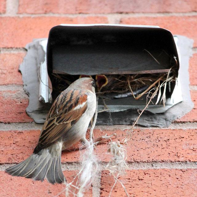 male-sparrow-feeding-babies