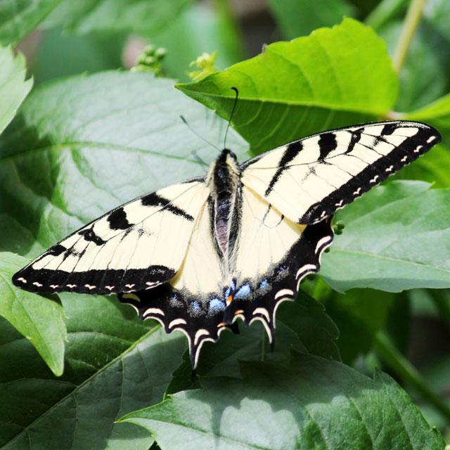 swallowtail-butterfly-in-toronto