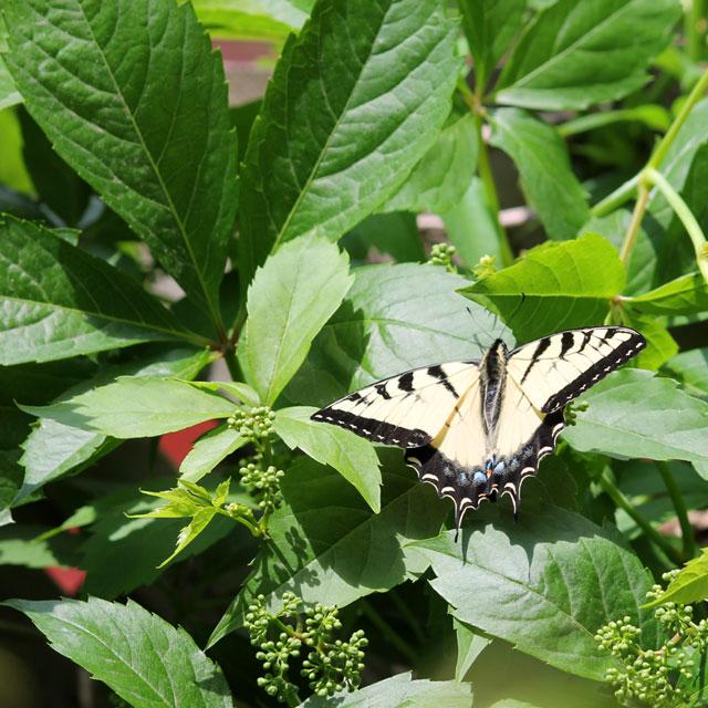 swallowtail-butterfly-seen-in-toronto