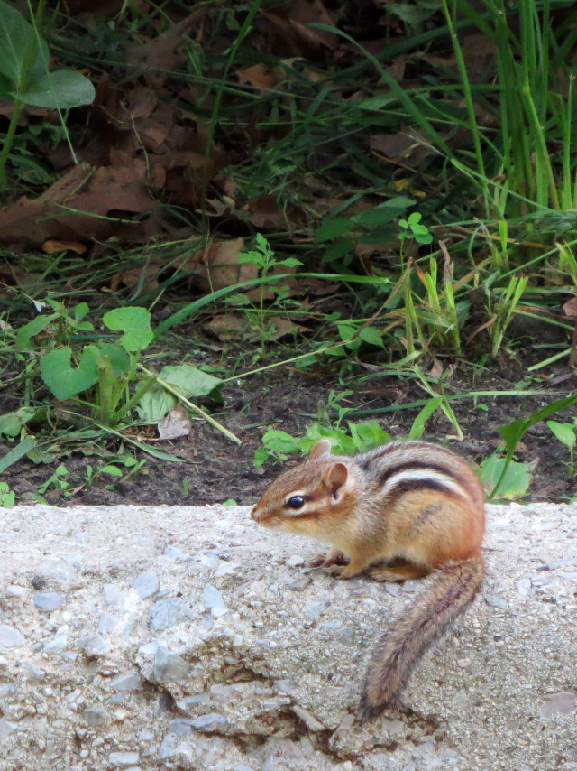 chipmunk in high park