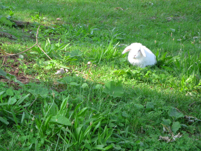 pet-rabbit-in-the-park