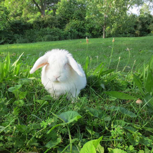 pet white rabbit in high park