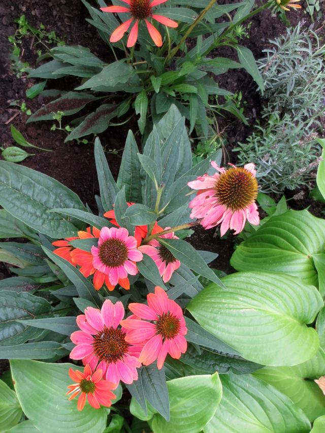 purple-cone-flowers