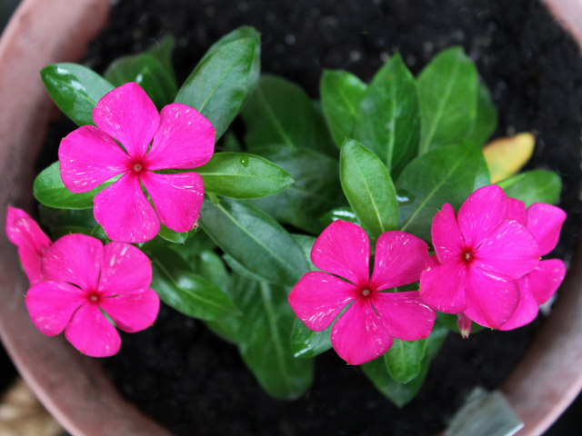 annual vinca in a pot