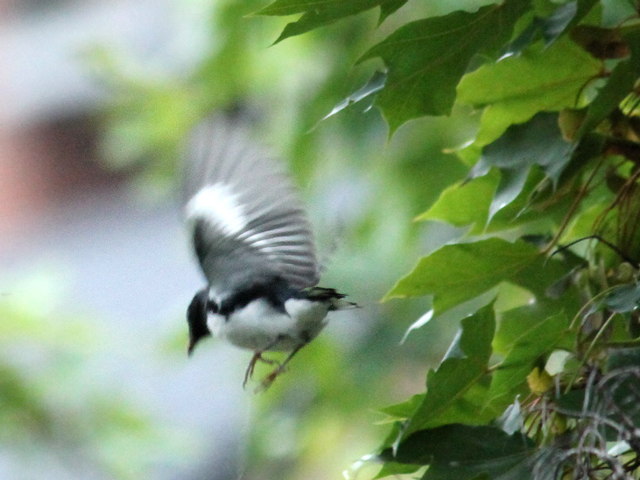 black throated blue warbler bird seen in toronto