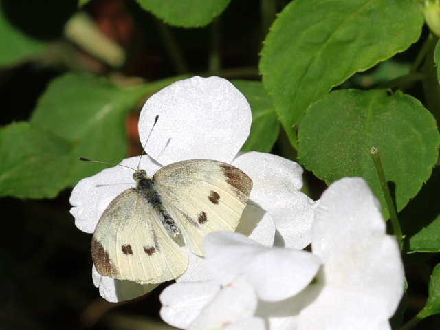 cabbage butterfly toronto
