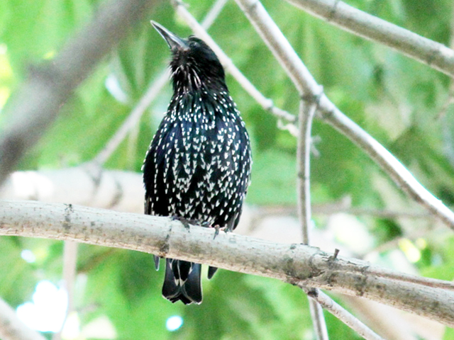 european starling in toronto