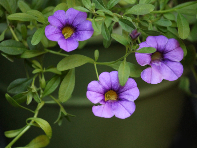 potted calobrachoa look like small petunias