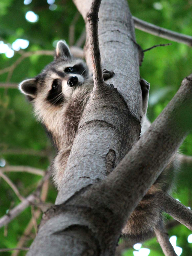 young raccoon in a tree toronto