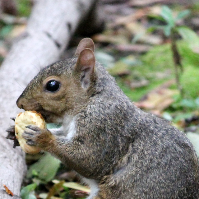 a-squirrel-eating-a-chestnut-in-toronto
