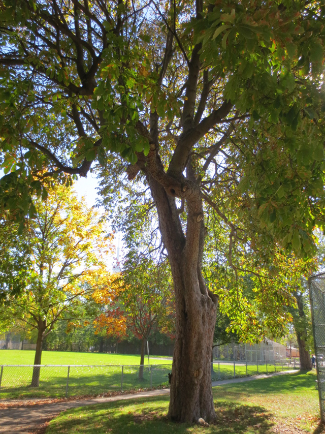 chestnut-tree-in-the-park-toronto