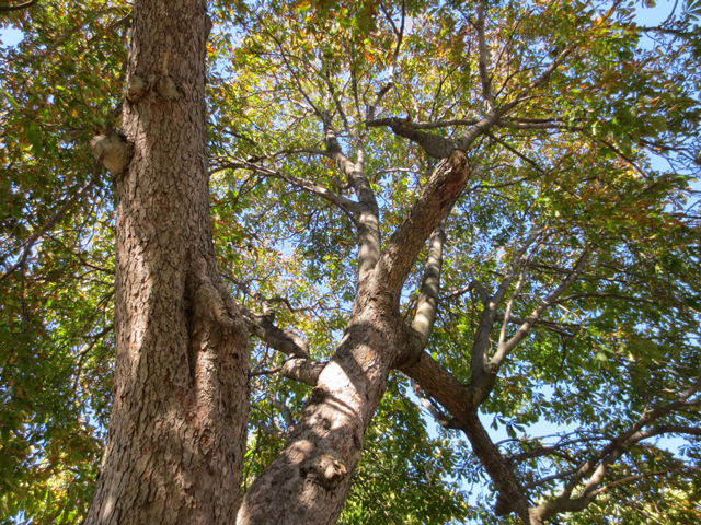 looking-up-at-chestnut-tree