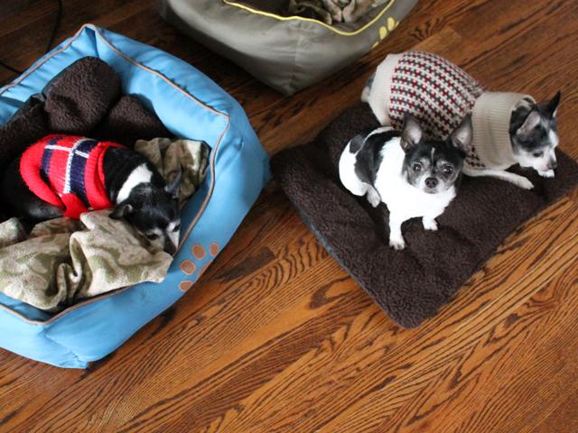 dogsitting three chihuahuas