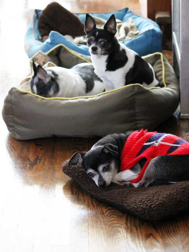 three chihuahua houseguests