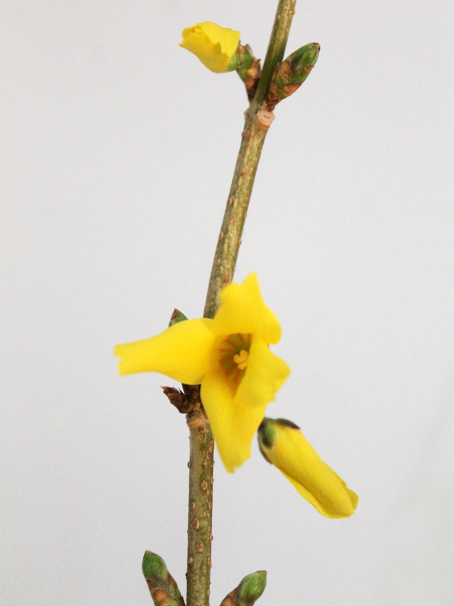 forsythia branch blooming indoors
