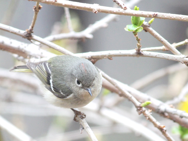 bird-watching-in-toronto-ruby-crowned-kinglet-spring-migration