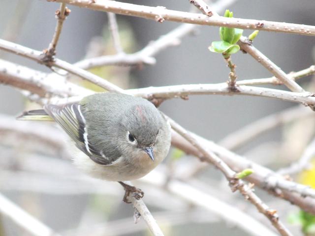 bird watching in toronto ruby crowned kinglet spring migration