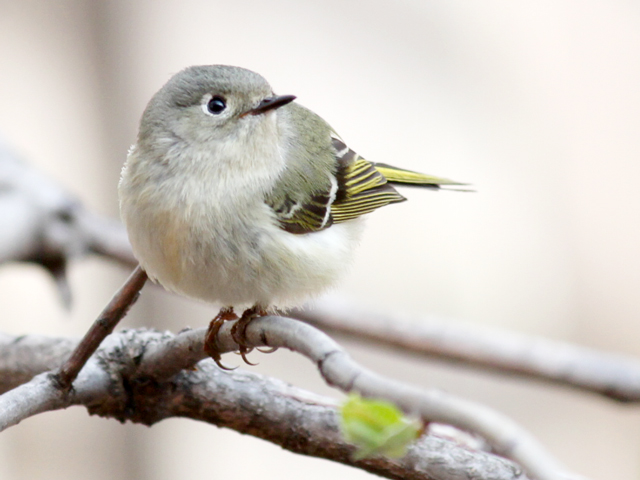 female-ruby-crowned-kinglet-bird