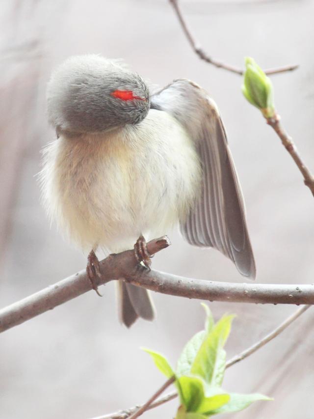 male ruby crowned kinglet bird seen in toronto