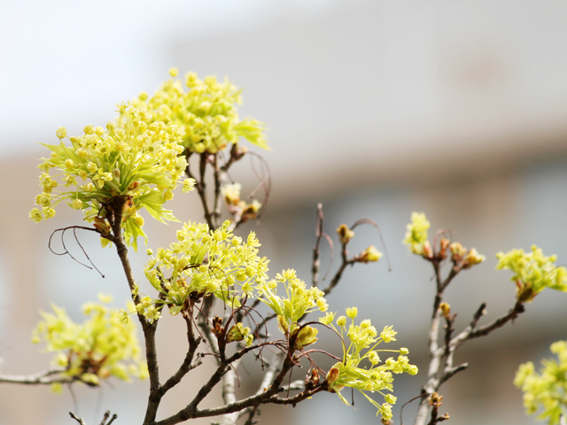 maple-tree-flowers-before-the-leaves-grow