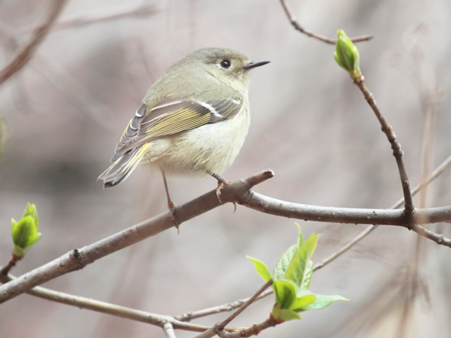 migrating bird in toronto ruby crownded kinglet on its way north