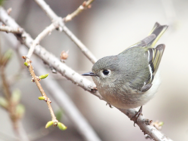 migrating-bird-seen-in-toronto-red-crowned-kinglet