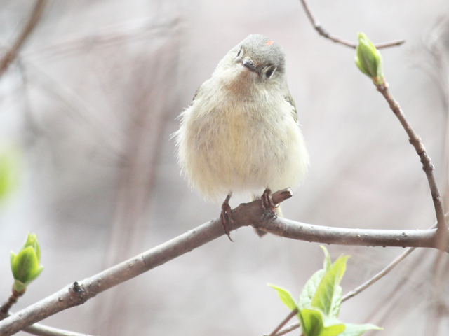 migrating bird seen in toronto ruby crowned kinglet