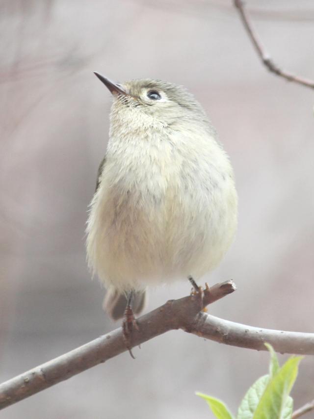 ruby crownded kinglet bird seen in toronto