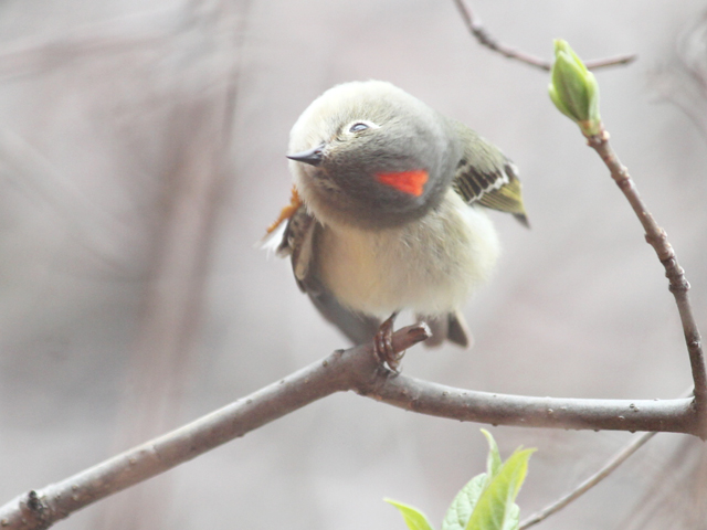 ruby crownded kinglet showing his crest toronto
