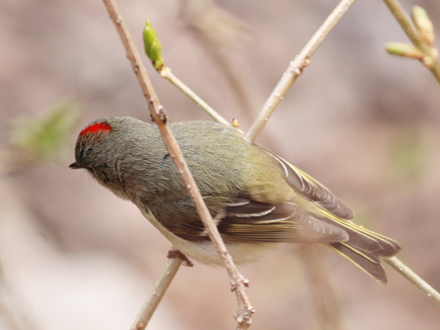 ruby-crowned-kinglet-bird-spotted-in-toronto-spring-migration