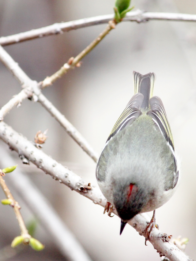 ruby-crowned-kinglet-bird-spotted-in-toronto-spring-twenty-sixteen