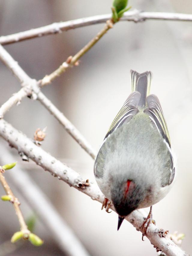 ruby crowned kinglet bird spotted in toronto spring twenty sixteen
