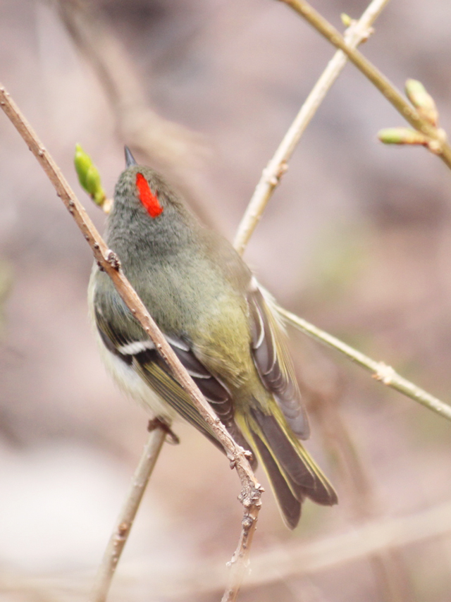 ruby crowned kinglet revealing his red crest seen in toronto