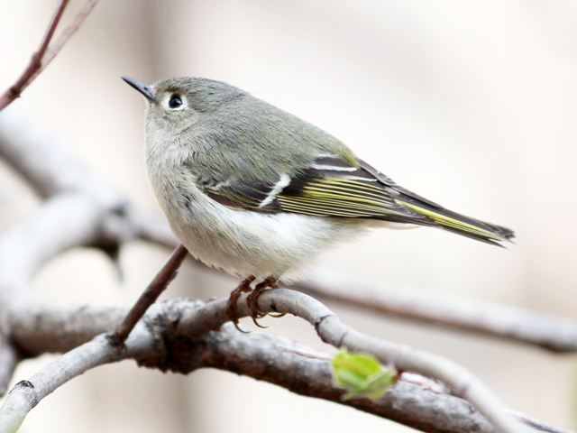 small migrating bird seen in toronto red crowned kinglet female