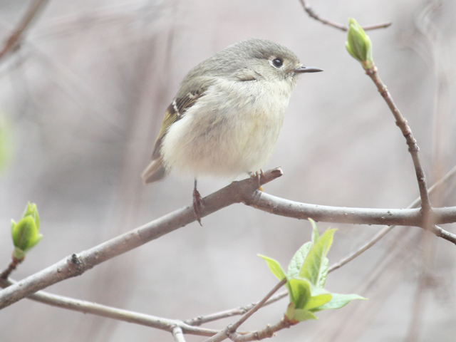 spring-bird-migration-through-toronto-ruby-crowned-kinglet