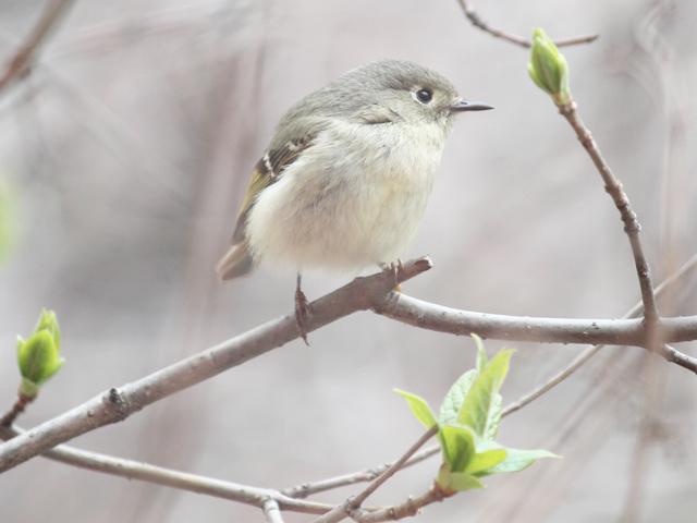 spring bird migration through toronto ruby crowned kinglet