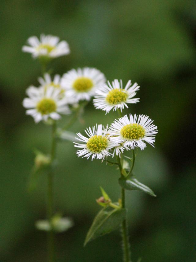 daisy-fleabane-in-toronto