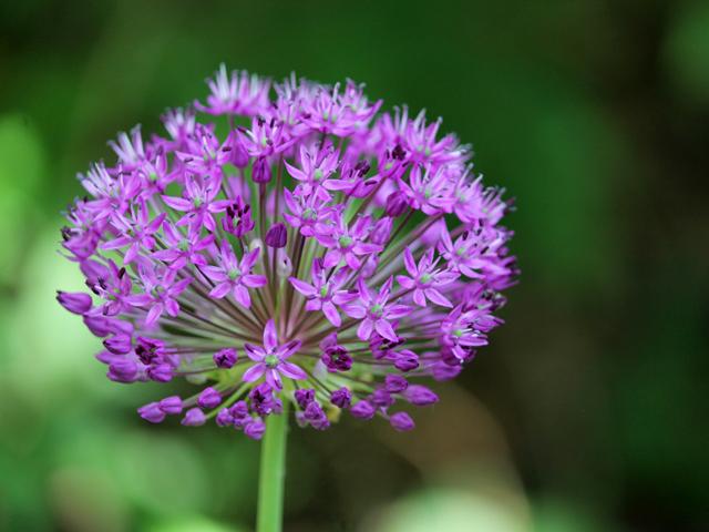 ornamental-onion-flower