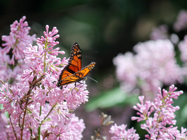 monarch butterfly in toronto lilac tree