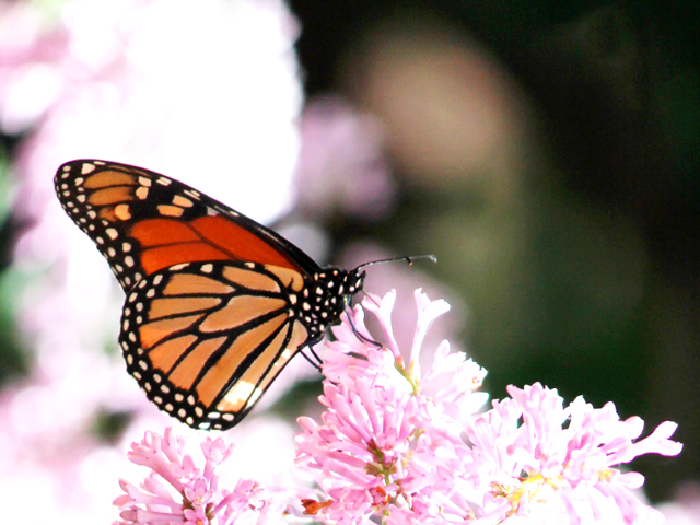 monarch butterfly on a lilac tree