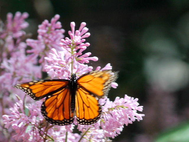 monarch butterfly on lilac toronto spring twenty seventeen