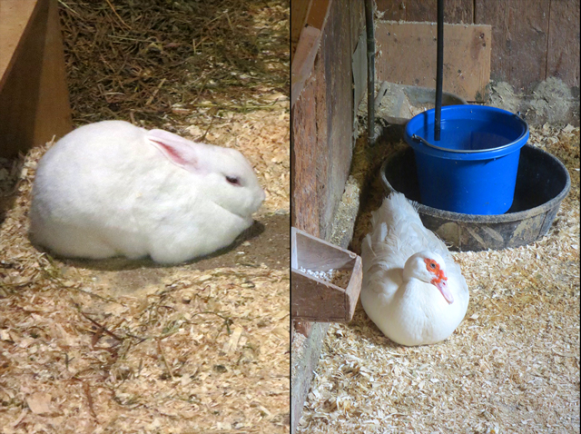 a rabbit and duck at riverdale farm toronto