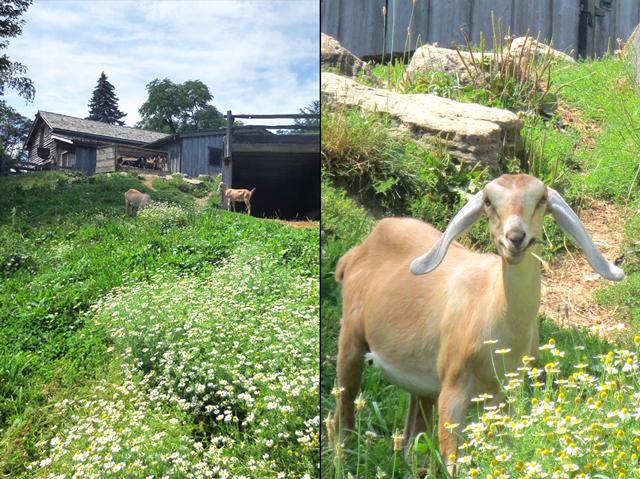 goats at riverdale farm toronto