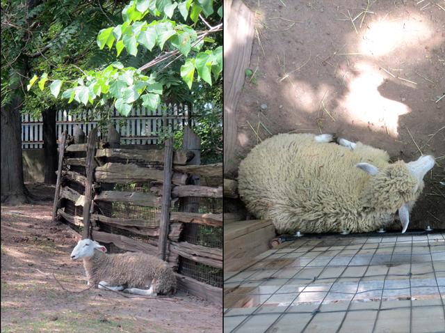 sheep riverdale farm toronto