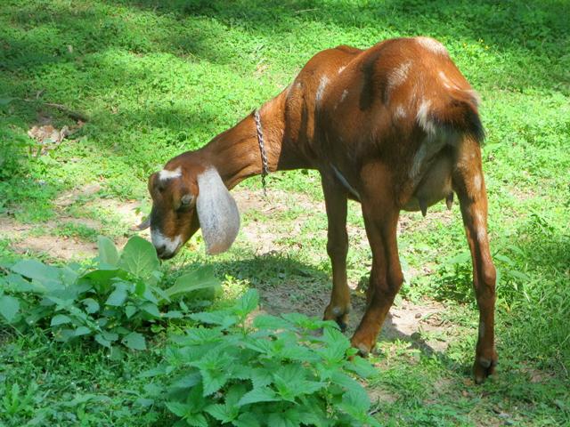 young female goat riverdale farm toronto