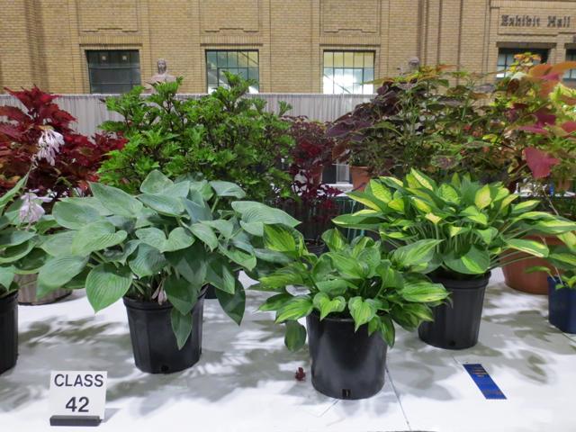 hosta horticulture competition cne toronto
